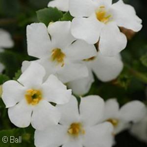 SUTERA MEGACOPA WHITE