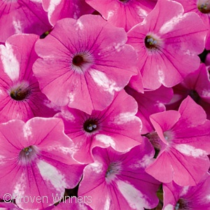 SUPERTUNIA RASPBERRY RUSH