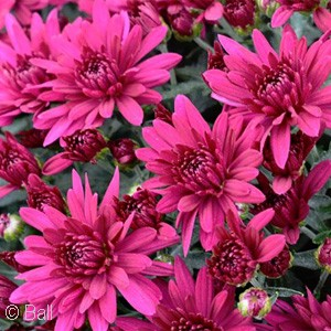 CHRYSANTHEMUM POPPIN PURPLE