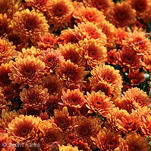 CHRYSANTHEMUM SUNSET