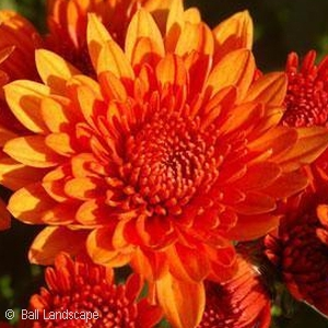 CHRYSANTHEMUM BLAZING ORANGE