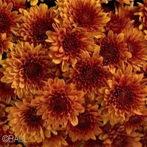 CHRYSANTHEMUM AVALON ORANGE