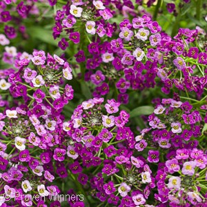 LOBULARIA DARK KNIGHT