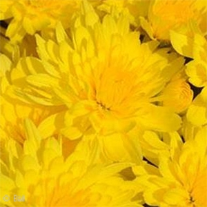 CHRYSANTHEMUM HONEY BLUSH YLW