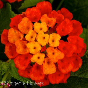 LANTANA HOT BLOODED