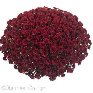 CHRYSANTHEMUM POWER RED