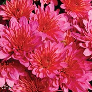 CHRYSANTHEMUM PINK FRENZY