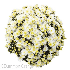 CHRYSANTHEMUM BLISS WHITE