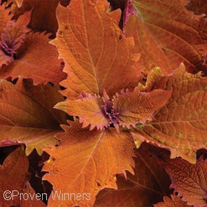 COLEUS WICKED HOT