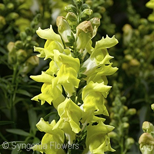 SNAPDRAGON SNAPTASTIC YELLOW