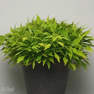 COLEUS FLAMETHROW SALSA VERDE