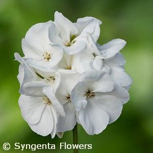 GERANIUM CALLIOPE WHITE
