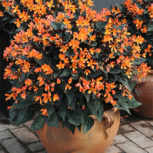 BEGONIA ICONIA ORANGE