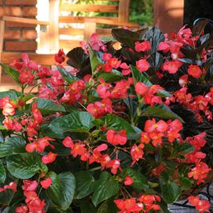 BEGONIA WHOPPER RED GREEN LEAF