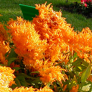 CELOSIA FRESH LOOK ORANGE