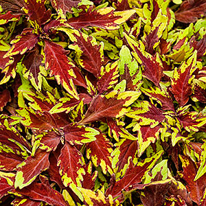 COLEUS APPLE BRANDY