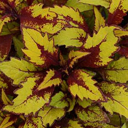 COLEUS FLAMETHROW SPICED CURRY
