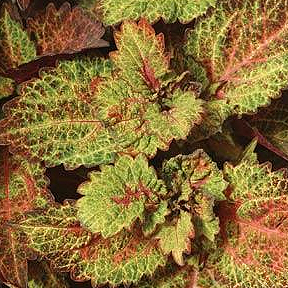 COLEUS INDIAN SUMMER