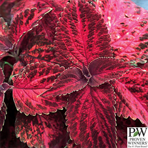 COLEUS KINGSWOOD TORCH