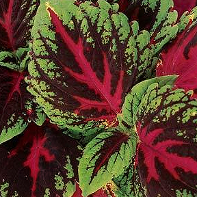 COLEUS KONG RED