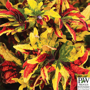 COLEUS TWIST AND TWIRL