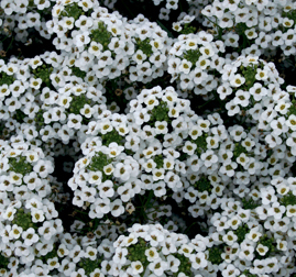 LOBULARIA SNOW PRINCESS