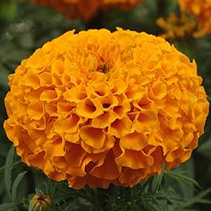 MARIGOLD LARGE BLOOM ORANGE