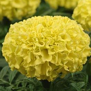 MARIGOLD LARGE BLOOM YELLOW