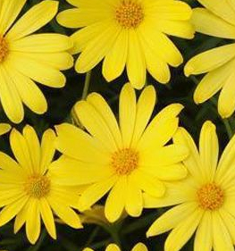 OSTEOSPERMUM YELLOW