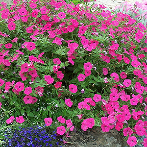PETUNIA TIDAL WAVE HOT PINK