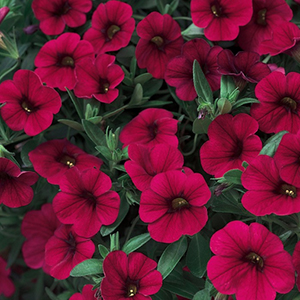 SUPERTUNIA REALLY RED