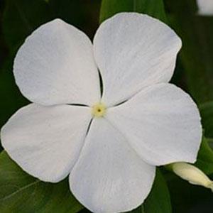 VINCA VALIANT PURE WHITE