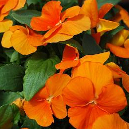 VIOLA COLORMAX CLEAR ORANGE