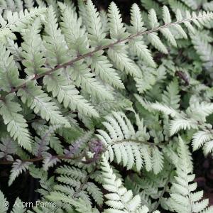 genus fern