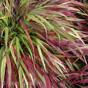 genus grass