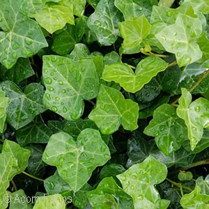 genus groundcover