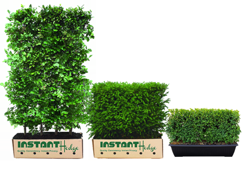 Instant Hedges in Box Containers