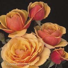 Grandiflora Roses