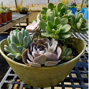 10 inch boval bowl succulents