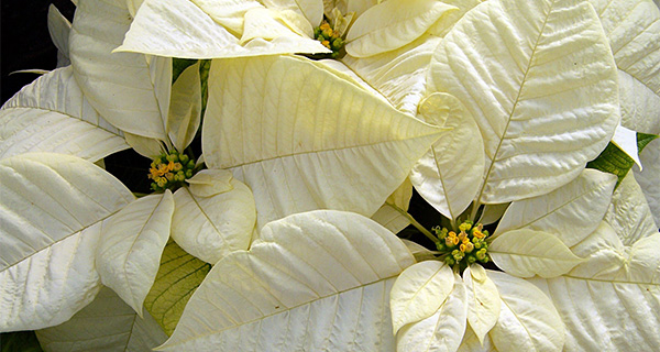 poinsettia and seasonal reference