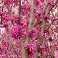 CERCIS CANADENSIS (MN STRAIN)