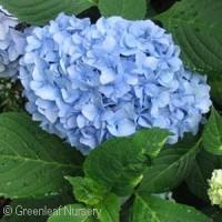 HYDRANGEA MAC NANTUCKET BLUE