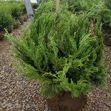JUNIPERUS CHI SEA GREEN