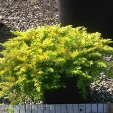 JUNIPERUS CON GOLDEN PACIFIC