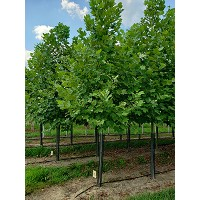 PLATANUS ACE EXCLAMATION