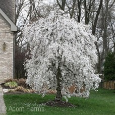 PRUNUS SNOWFOUNTAIN