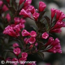 WEIGELA FLO WINE AND ROSES