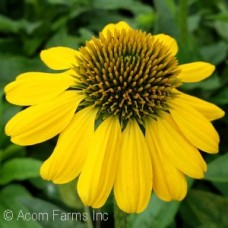 ECHINACEA LEMON YELLOW
