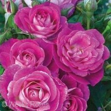 ROSA EASY TO PLEASE FL