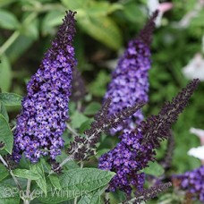 BUDDLEIA PUGSTER BLUE